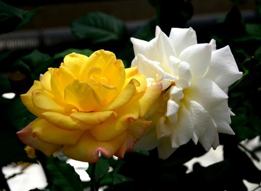 1-17.05.15 四季の郷公園のバラ-14.jpg