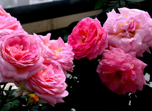1-17.05.15 四季の郷公園のバラ-2.jpg