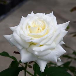 1-17.05.15 四季の郷公園のバラ-3.jpg