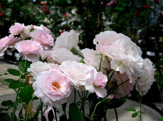 1-17.05.15 四季の郷公園のバラ-8.jpg
