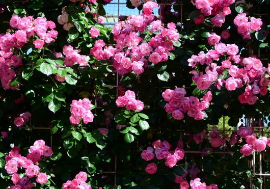 1-17.05.21 湊緑地公園のバラ-1.jpg