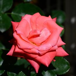 1-17.05.21 湊緑地公園のバラ-10.jpg