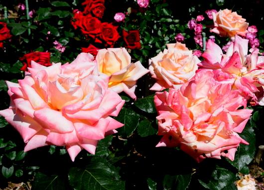 1-17.05.21 湊緑地公園のバラ-13.jpg