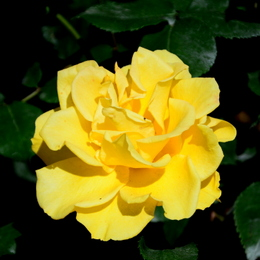 1-17.05.21 湊緑地公園のバラ-14.jpg