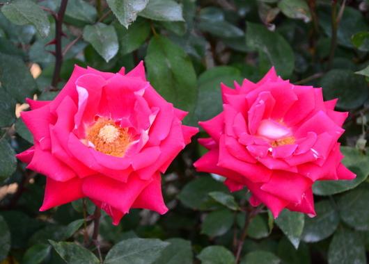 1-17.05.21 湊緑地公園のバラ-16.jpg