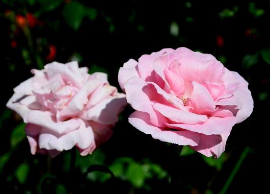 1-17.05.21 湊緑地公園のバラ-2.jpg
