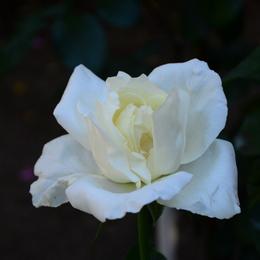 1-17.05.21 湊緑地公園のバラ-3.jpg