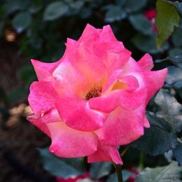 1-17.05.21 湊緑地公園のバラ-4.jpg