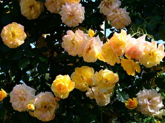 1-17.05.21 湊緑地公園のバラ-5.jpg
