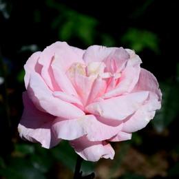 1-17.05.21 湊緑地公園のバラ-6.jpg