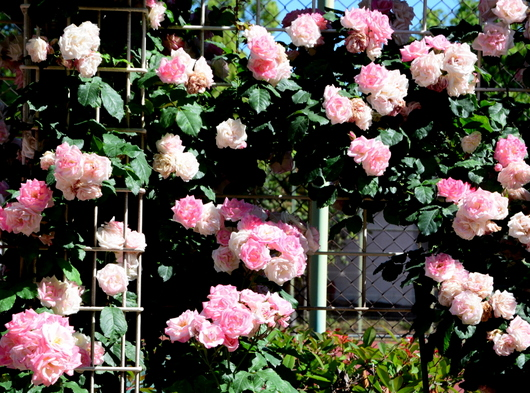 1-17.05.21 湊緑地公園のバラ-8.jpg