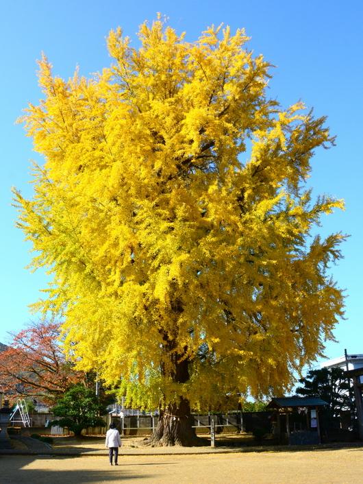 1-17.12.03 三谷の銀杏-1.jpg