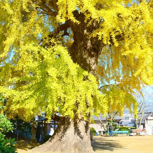 1-17.12.03 三谷の銀杏-4.jpg