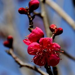 1-18.02.12 近所の紅梅-2.jpg
