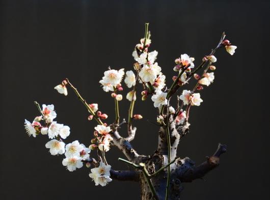 1-18.02.12 鉢植えの梅.jpg