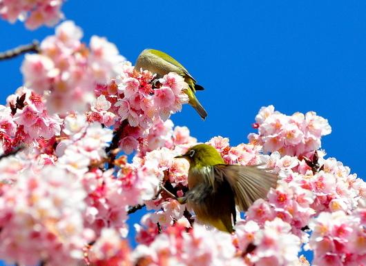 1-18.03.08 嘉ヶ作の桜-5.jpg