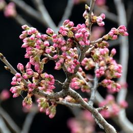 1-18.03.11 桜-1.jpg