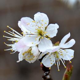 1-18.03.11 桜-2.jpg