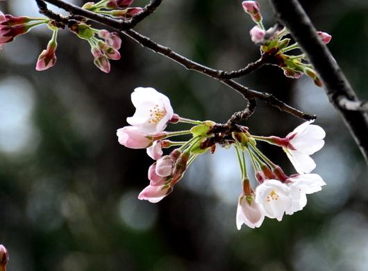 1-18.03.20 桜開花.jpg
