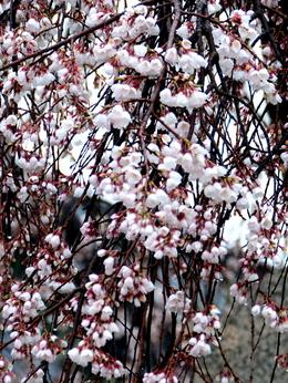 1-18.03.23 枝垂れ桜.jpg