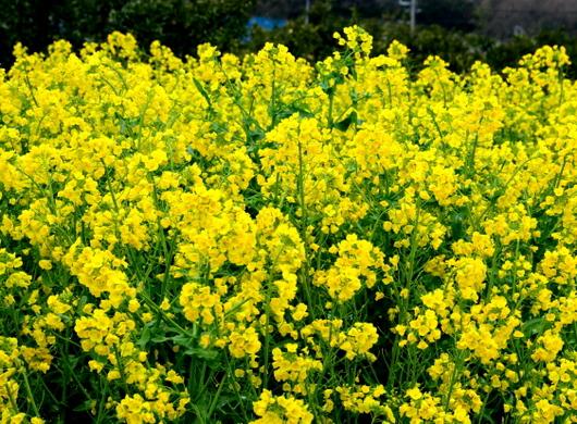 1-18.03.23 菜の花.jpg