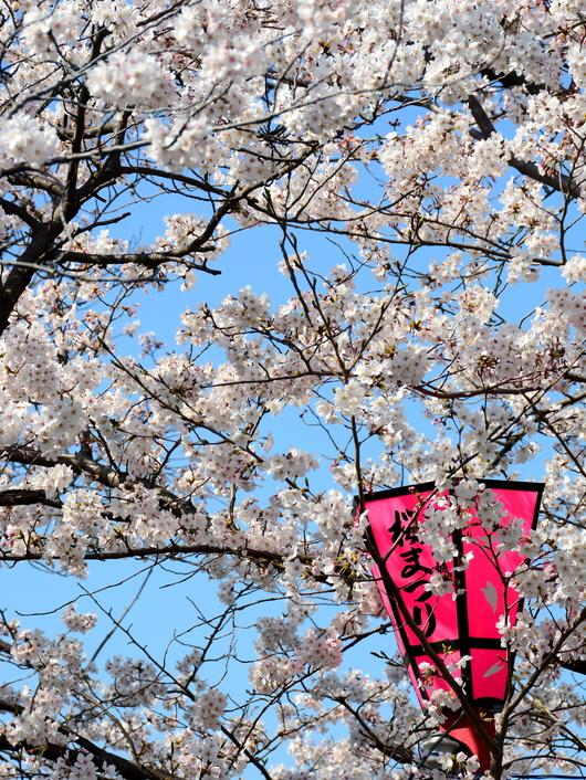 1-18.03.29 和歌山(城)公園の桜-1.jpg