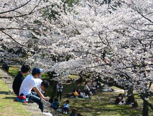 1-18.03.29 和歌山(城)公園の桜-4.jpg