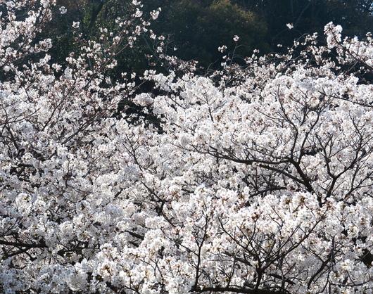 1-18.03.29 和歌山(城)公園の桜-5.jpg