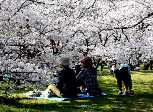 1-18.03.29 和歌山(城)公園の桜-6.jpg
