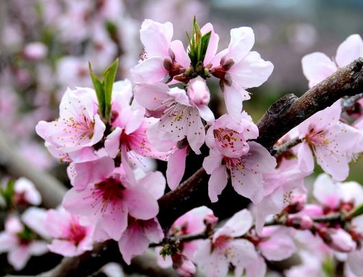 1-18.04.01 桃山町の桃-4.jpg
