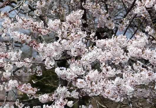 1-18.04.07 白糸の滝での桜.jpg