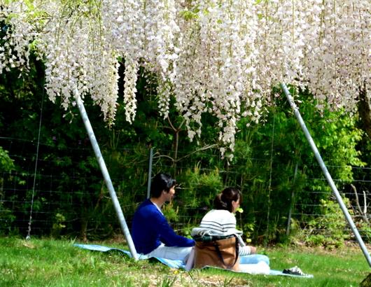1-18.04.28 有田川町の藤-4.jpg