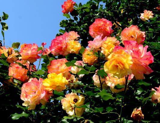 1-18.05.25 緑化センターの薔薇-4.jpg