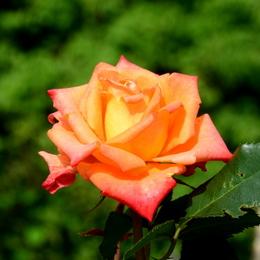 1-18.05.25 緑化センターの薔薇-6.jpg