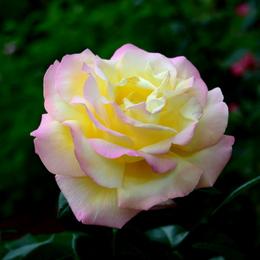 1-18.05.25 緑化センターの薔薇-7.jpg