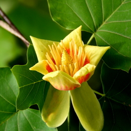 1-18.05.28 百合の木の花-2.jpg