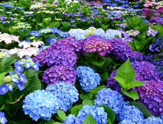 1-18.06.03 上木さんちの紫陽花-2.jpg