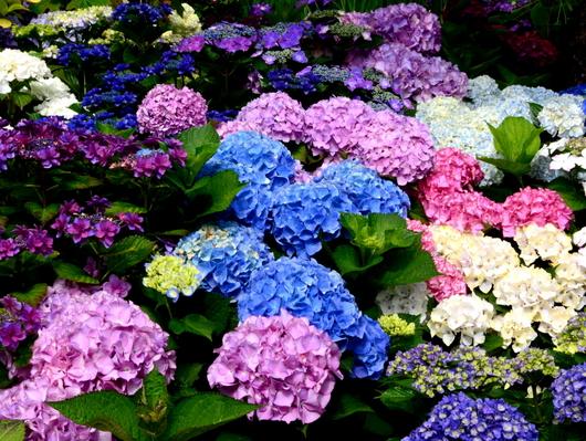 1-18.06.03 上木さんちの紫陽花-3.jpg