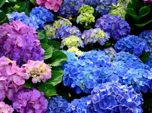 1-18.06.03 上木さんちの紫陽花-4.jpg