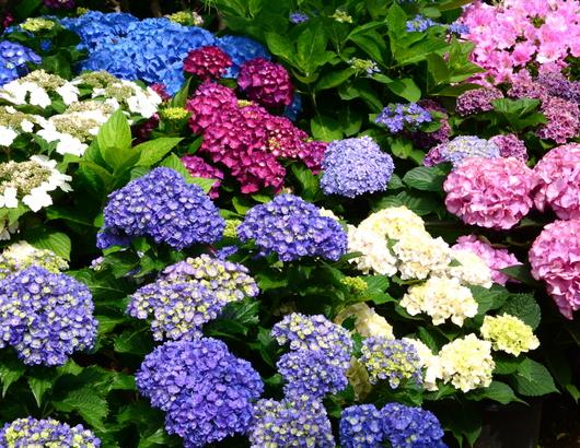 1-18.06.03 上木さんちの紫陽花-5.jpg