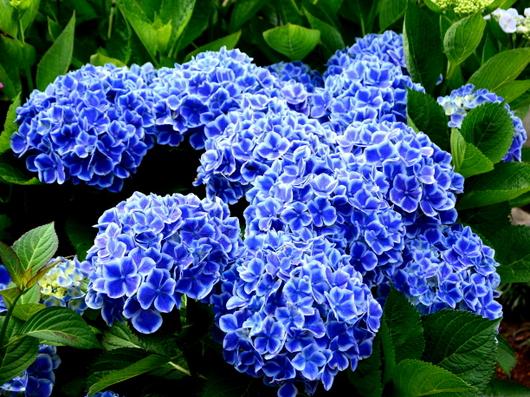 1-18.06.03 上木さんちの紫陽花-7.jpg