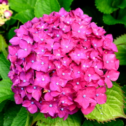 1-18.06.03 上木さんちの紫陽花-8.jpg