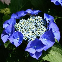 1-18.06.03 上木さんちの紫陽花-9.jpg
