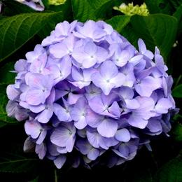 1-18.06.09 我が家の紫陽花-5.jpg