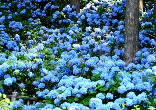 1-18.07.21 花園紫陽花園-1.jpg