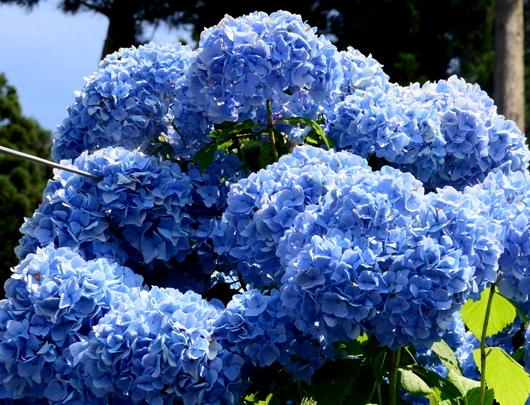 1-18.07.21 花園紫陽花園-2.jpg